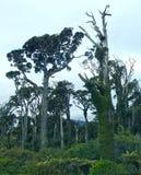 Rodzimy las w Nowa Zelandia na zachodnim wybrzeżu zdjęcie stock