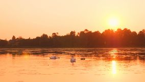Rodzina łabędź unosi się na ranku wschodzie słońca zdjęcie wideo