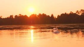 Rodzina łabędź unosi się na ranku wschodzie słońca zbiory