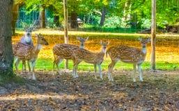 Rodzina łaciaści osi deers stoi wpólnie w patrzeć i piasku obraz stock