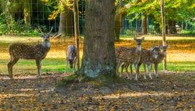 Rodzina łaciaści osi deers wpólnie, jeden samiec i wielokrotność kobiety obraz royalty free