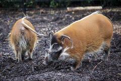 Rodzina świni zbliżenie Wielkie męskie krzak świnie patrzeje dla jadalnych korzeni iść w ziemię Zdjęcia Royalty Free