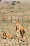 Rodzina antylopy kongoni Fotografia Stock