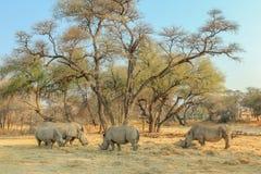 Rodzina biali rhinos w niebezpieczeństwie Zdjęcia Royalty Free