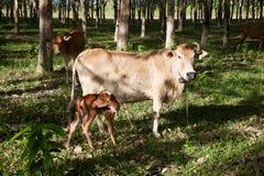 Rodzina Brown krowa Zdjęcia Stock