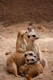 Rodzina ciekawi meercats Fotografia Stock