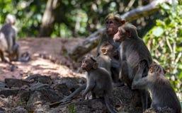 Rodzina czapeczka makak w świetle słonecznym i cieniach - Macaca radiata zdjęcia stock