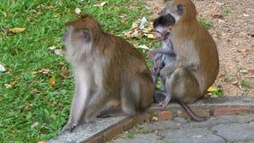 Rodzina długoogonkowi makaki z dzieckiem zdjęcie wideo
