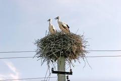 Rodzina dwa bociana w gniazdeczku buduje na elektrycznych słupach Obrazy Royalty Free