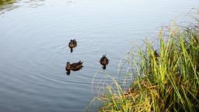 Rodzina dzikiej kaczki pływanie w jeziorze zbiory