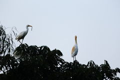 Rodzina egret obrazy stock