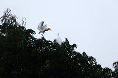 Rodzina egret obrazy royalty free