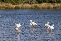 Rodzina flamingi z dorosłą samiec wokoło w centrum i sześć szczeniakami w stawie blisko brzeg Budoni morze wewnątrz zdjęcia stock