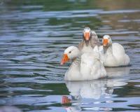 Rodzina gąski na jeziorze Obrazy Royalty Free