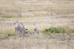 Rodzina gepardy considering ofiary w Afrykańskiej sawannie zdjęcia stock
