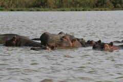 Rodzina hipopotam, Hipopotamowy amphibius, stronniczo zanurzający w wodzie, Jeziorny Naivasha, Kenja fotografia stock