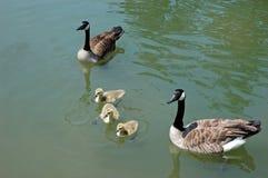 rodzina kaczek Obrazy Stock