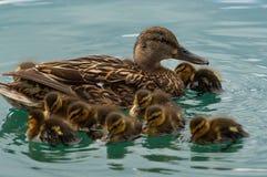 rodzina kaczek Obraz Royalty Free