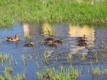 rodzina kaczek Obraz Stock