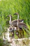 rodzina kaczek Fotografia Royalty Free