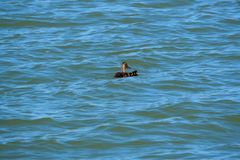Rodzina kaczki w Jeziornym Ivars i Vilasana, Lleida fotografia royalty free