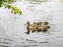 Rodzina kaczki w jeziorze Zdjęcia Royalty Free