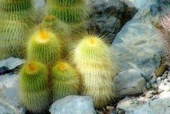 Rodzina kaktusy z wiele kolcami, robi mię spojrzenie miękkiej części Fotografia Royalty Free
