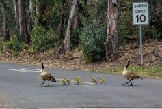 Rodzina Kanadyjskie gąski w Laguna Niguel regionalności parku fotografia stock