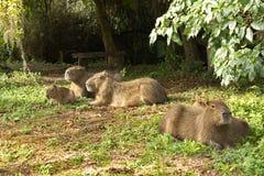 Rodzina kapibary w dzikiej naturze w Ameryka Południowa Fotografia Royalty Free