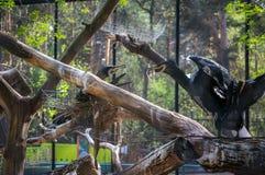 Rodzina kormorany buduje gniazdeczko zdjęcia stock