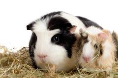 rodzina królik doświadczalny Fotografia Stock
