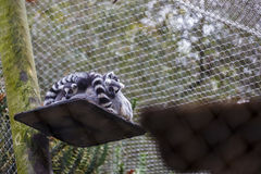 Rodzina lemur Fotografia Stock