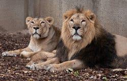 Rodzina lwy Obraz Stock