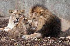 Rodzina lwy Obraz Royalty Free