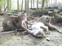Rodzina małpy w Angkor wacie Siem przeprowadza żniwa Kambodża Zdjęcia Royalty Free