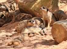 rodzina meerkat Obrazy Stock