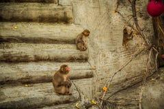 rodzina na bali Indonesia małpy w zoo obraz royalty free