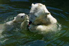 Rodzina niedźwiedź polarny Fotografia Royalty Free