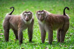 Rodzina ogoniasty makak w naturze obraz royalty free