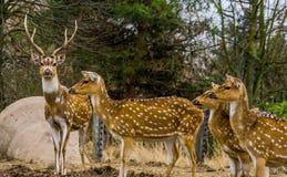 Rodzina osi deers wpólnie, Jeden jeleń prowadzi stada, zwierzę od lasów India i Ameryka fotografia stock