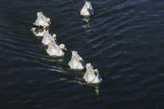 Rodzina pływa w grupie kaczki Fotografia Stock