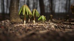 Rodzina Parasolowe rośliny zdjęcia royalty free