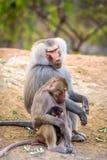 Rodzina pawiany przy San Diego zoo Zdjęcie Royalty Free