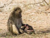 Rodzina pawiany w krzaku w Kruger parku, Obrazy Royalty Free