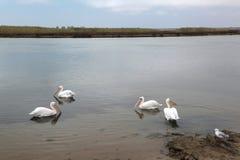 Rodzina pelikany NA góry lodowa rzece Obrazy Stock