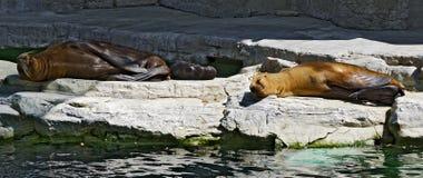 Rodzina południowi denni lwy Fotografia Stock