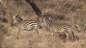 Rodzina równiny zebra w łące zdjęcie stock