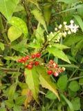 Rodzina rośliny dziki z owoc czerwień w kolorze Fotografia Stock