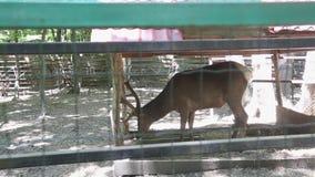 Rodzina rogacz w zoo zbiory wideo