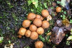 Rodzina round pieczarka deszczowowie r na drzewie obraz royalty free